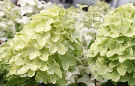 Hortensien für den Garten